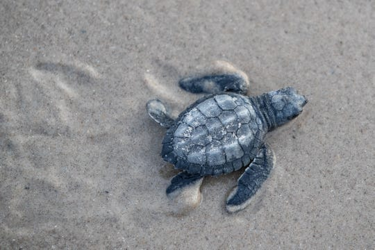 A Kemp's ridley hatching crawls to the Gulf of Mexico on Malaquite Beach Visitor Center at Padre Island National Seashore during the first Kemp's ridley sea turtle hatching release of 2019 on Friday, June 12, 2019.