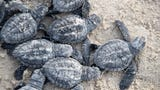 Sea turtle hatchling release