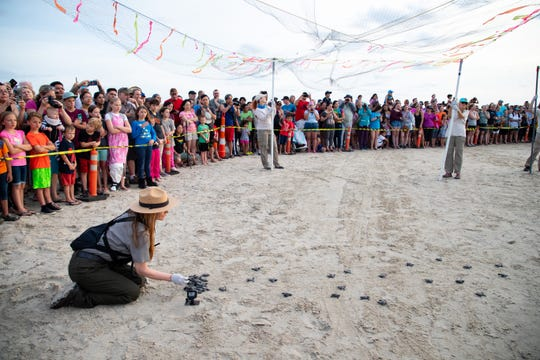 Donna Shaver, chief of the Division of Sea Turtle Science and Recovery at Padre Island National Seashore places hatchings on the beach during the first Kemp's ridley sea turtle hatching release of 2019 at the Padre Island National Seashore on Friday, June 12, 2019.