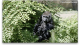 Ndume is now quarantined from the zoo's other gorillas. The plan is to slowly introduce him to the others.