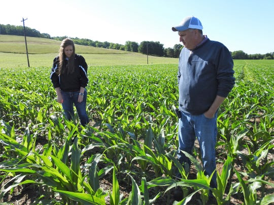Kayla and Steve Finton inspect corn they planted around April 30 on their farm on County Road 170. The old adage is that corn should be 'knee high by the Fourth of July' and this field is there already.