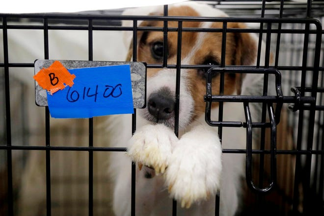 A Parson Russell terrier sits in a kennel at St. Hubert's Animal Welfare Center. Law enforcement officers and animal welfare groups went to a Kingwood, N.J. home Tuesday to remove nearly 200 dogs, which were mostly Russell terriers. Officials said the animals seemed to have had limited human contact and minimal to no veterinary care. No charges have been filed, but officials say they're continuing to investigate.