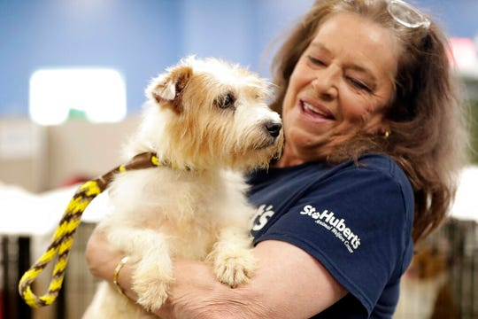 Nora Parker, vice president of St. Hubert's Animal Welfare Center, holds one of the many Parson Russell terriers confiscated from a home in Kingswood, N.J., Friday, June 14, 2019, in Madison, N.J.