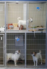 Parson Russell terriers, some of many terriers confiscated from a home in Kingwood, N.J., sits in a kennel at St. Hubert's Animal Welfare Center.