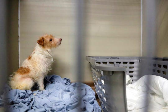 A Parson Russell terrier, one of many terriers confiscated from a home in Kingwood, N.J., sits in a kennel at St. Hubert's Animal Welfare Center after being treated, Friday, June 14, 2019, in Madison, N.J.
