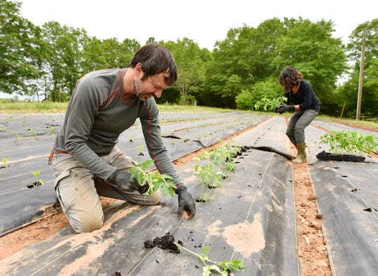 Chris Sermon, owner of Bio-Way Farm, places tomato plants into the ground at the farm in Ware Shoals.