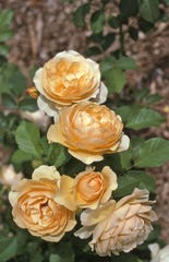 A highly recommended yellow rose is Graham Thomas. It has strong color appeal and an outstanding fragrance.