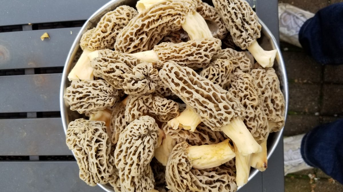 Novi man finds mother lode of morel mushrooms in his yard after 25 ...