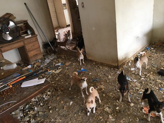 Constable Carolyn Lane found over 35 Chihuahuas in poor conditions in a house in Phoenix, with feces on the floor and only one working A/C unit in the house.