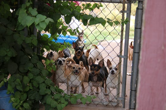 More than 35 Chihuahuas were found in an apparently abandoned house when constables responded to an eviction notice in Phoenix on June 13, 2019.