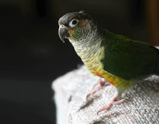 Cindy Dudak of Rochester was reunited with her Conure parrot, Missy, after Missy flew out an open door in April 2018.  Missy was found last week at a construction site on Hudson Ave. and Ave. D not far from her home.