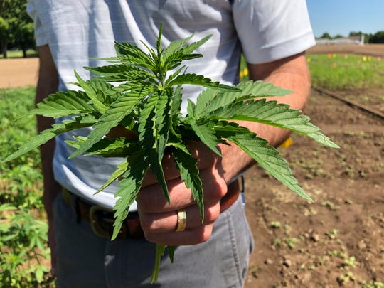 Lloyd Nackley, a plant ecologist with the Oregon State University Extension Service, holds freshly picked tops of hemp plants from one of Oregon State's hemp research stations in Aurora.