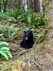 The black bear was continually seen eating food near Henry Hagg Lake
