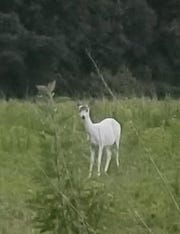A white deer was spotted in southern Salisbury along a rural road.