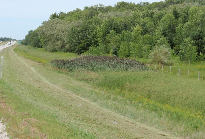 Phragmites is an invasive species of grass from Europe now found in Wisconsin.