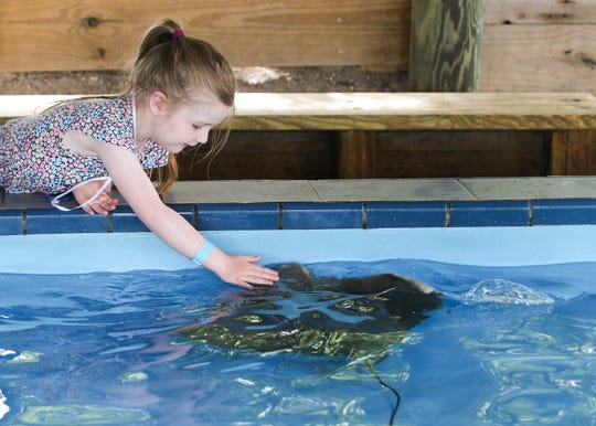 One millionth visitor Mari Ella Culy, 4, of Jackson, Mich., pets a stingray during the one millionth visitor celebration at the Florida Oceanographic Society on Friday, June 14, 2019, in Stuart.