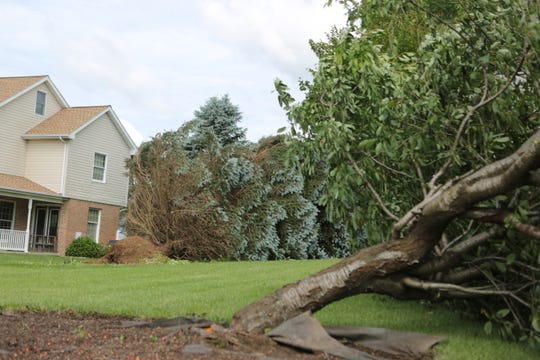 Several trees on Sugar Pine Drive were knocked over during Thursday night's storm.