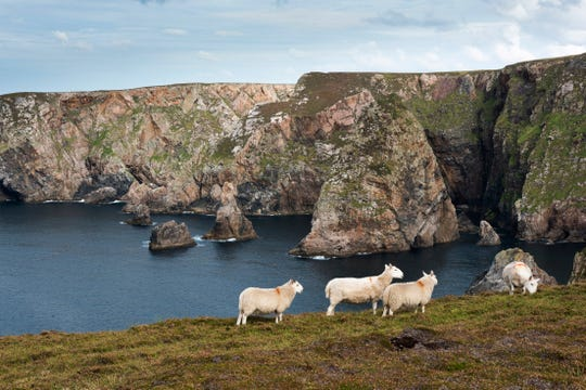 Sheep On Arranmore Island