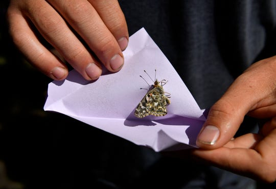 A butterfly pauses before flying forth from the envelope in which it was kept Saturday.