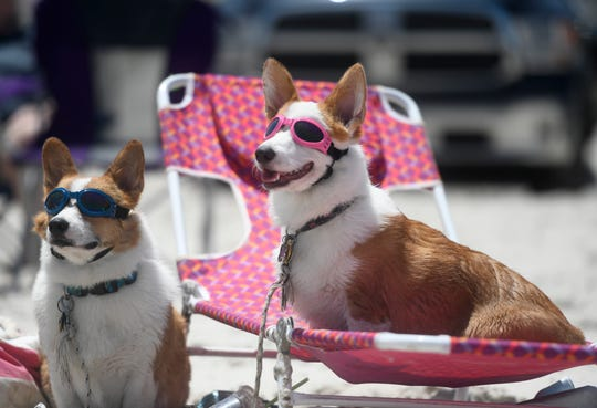Winston, left, and Penny sit on the beach during the Corpus Christi Corgi Convention, Saturday, June 15, 2019, on J.P. Luby Beach.