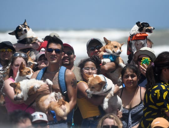 The Corpus Christi Corgi Convention held its first annual meet up, Saturday, June 15, 2019. Corgi's and their owners traveled as far as North Dakota for the event.