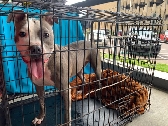 Hearts of Gold Pit Rescue brought Dazzling Diamond to Puppypalooza. The pit rescue said their main goal was finding Diamond a home.