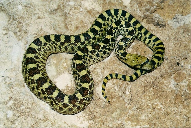 Bullsnakes are common in Texas, and can reach a whopping 9-feet in length.