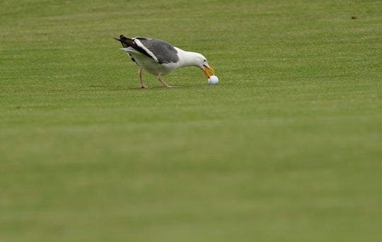 A seagull tried to grab the golf ball of Phil Mickelson on the 10th hole during the second round of the U.S. Open.
