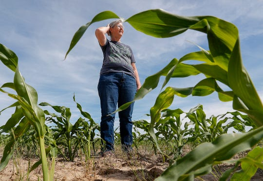 Helen Roney looks over the sweet corn plants in one of their many sweet corn fields at Tuttles Orchard in Greenfield on Friday, June 14, 2019.