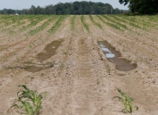 A sweet corn field that got was flooded killing off much of the sweet corn plants in one of their many sweet corn fields at Tuttles Orchard in Greenfield on Friday, June 14, 2019.