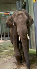Hugo, an 8-year-old Asian elephant, arrived at Dickerson Park Zoo in Springfield, Mo., on Friday, June 14, 2019. He will be kept in quarantine for at least a month.