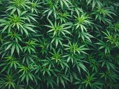 California court deems marijuana possession in prison legal, but inmates can't smoke