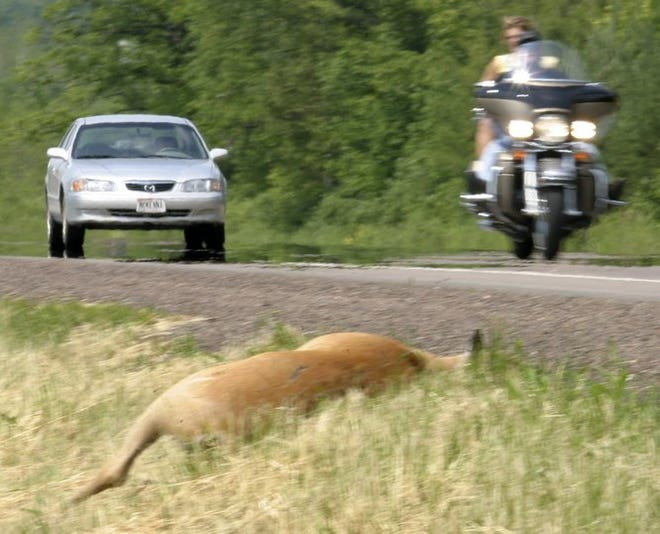 Traffic passes a dead deer lying along a Wisconsin highway.
