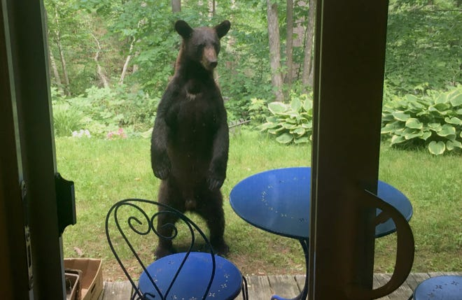 A young black bear stands up to sneak a peak into the home of Rep. Ann Pugh, D-Chittenden, at Treetop Condominiums off Kennedy Drive in South Burlington on Monday morning, June 17, 2019. Home owners got an email after several residents reported see a black bear in the neighborhood.