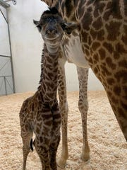 New giraffe is born at the Cincinnati Zoo and Botanical Garden