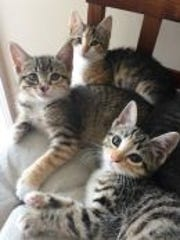 "Bindi, Belle & Kacie are available for adoption at New Beginnings Animal Rescue in East Brunswick. The sister kittens are ""torbies,"" which means they are tabby cats with some patches of orange and white."