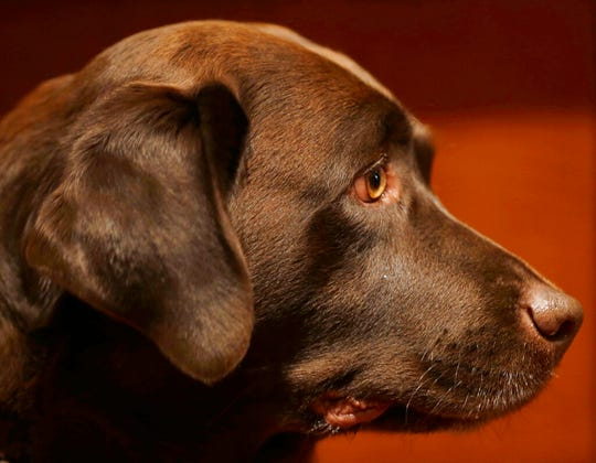 In this Wednesday, Jan. 30, 2013, file photo, a Labrador retriever named Shayna attends a news conference at the American Kennel Club in New York.