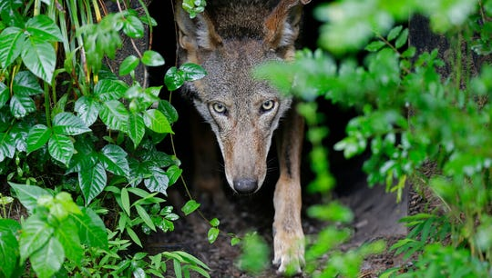 In this Monday, May 13, 2019 file photo, a female red wolf emerges from her den sheltering newborn pups at the Museum of Life and Science in Durham, N.C.
