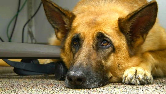 "This Feb. 18, 2014 shows Lexy, a therapy dog at Fort Bragg, N.C. A study released on Monday, June 17, 2019 suggests that over thousands of years of dog domestication, people preferred dogs that could pull off the ""puppy dog"" eyes look. And that encouraged the evolution of the facial muscle behind it, researchers propose."