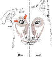 This diagram provided by Tim Smith in June 2019 shows a comparison between dog and wolf facial muscles.