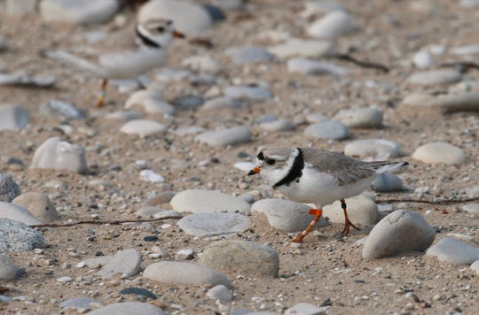 A piping plover walks on the sand in Glen Haven. Trouble is brewing for the piping plovers as water levels surge during a rain-soaked spring that has flooded large areas of the Midwest.