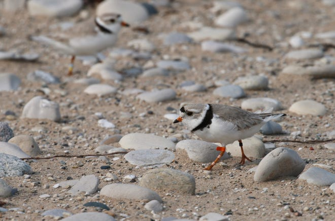 A piping plover walks on the sand in Glen Haven.