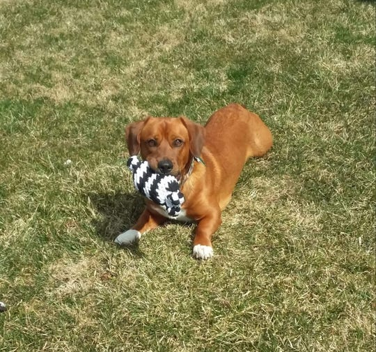 Oliver is a daschund/boxer mix and only 2 years old.