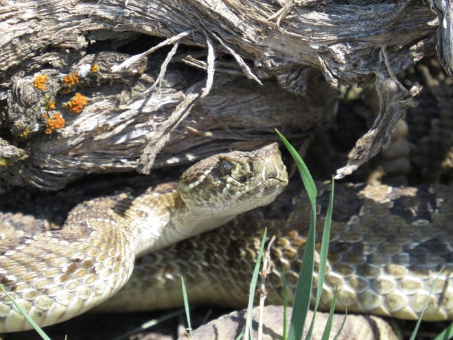 A Prairie Rattlesnake raises its head in a protective stance at First Peoples Buffalo Jump