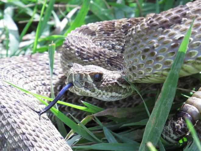 The Prairie Rattlesnake is Montana's only venomous snake