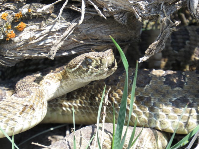 A venomous Prairie Rattlesnake stands coiled and erect to fend off a human threat