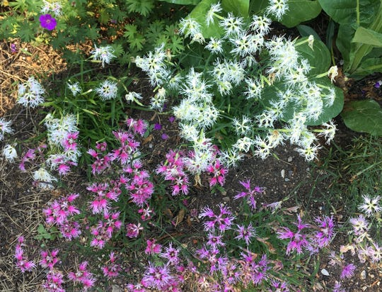 "What's old is new again with ""Rainbow Loveliness,"" a fringed dianthus from the 1920s that perfumes a contemporary garden in Indianapolis."