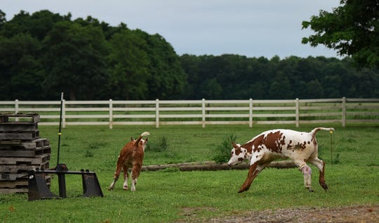 Charlette, right, a Hereford-Longhorn calf runs on her prosthetic leg while playing with Jackman Monday, June 17, 2019, at Fullerton Farms in Charlotte.