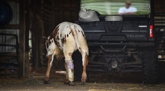 Six-month-old Hereford-Longhorn calf Charlette ambles into the barn for feeding after walking around the Fullerton farm in Charlotte, Monday, June 17, 2019. Charlette's leg was amputated.  The prosthetic leg allows her to roam the farm and play.