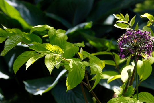 Aralia Sun King is another favorite of the homeowners.